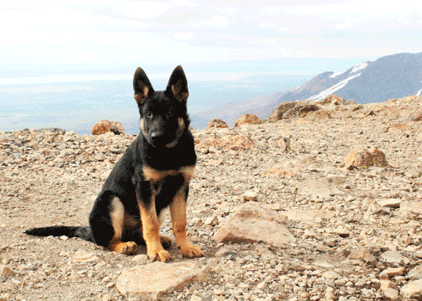 Why german shepherds are good family pets