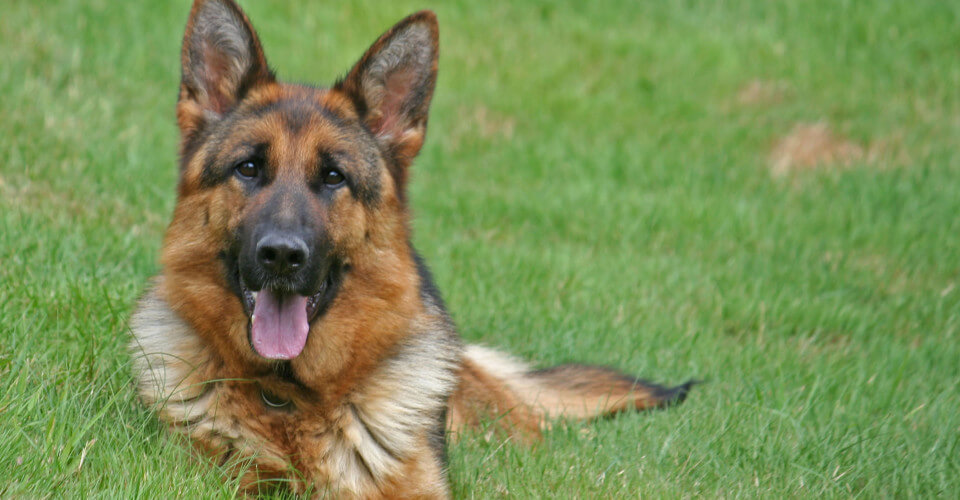 Lilac | German Shepherd Imports
