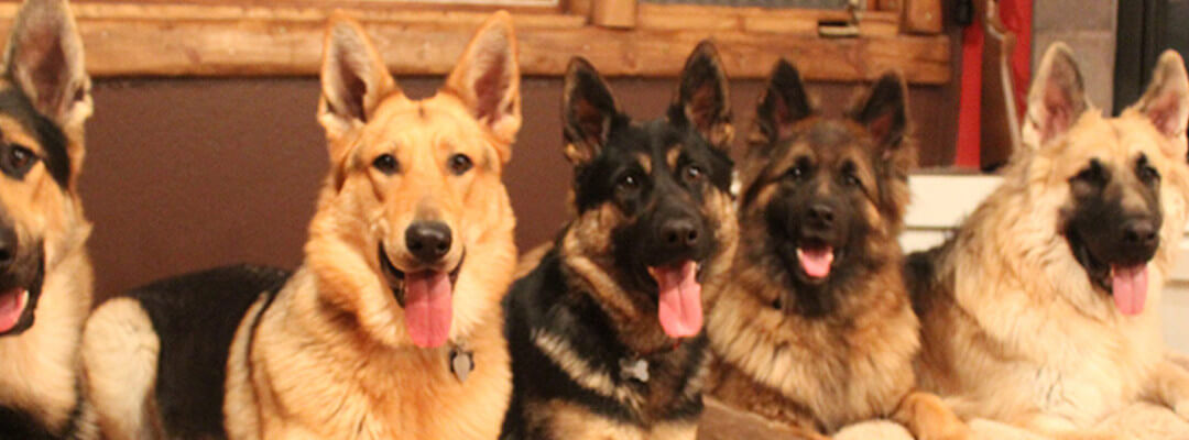 What Life is Like with 6 German Shepherds