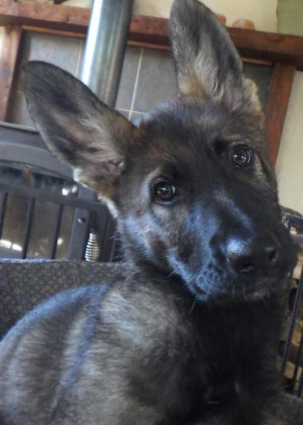 german-shepherd-puppy-sable
