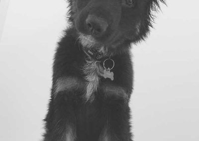 long-coat-german-shepherd-puppy