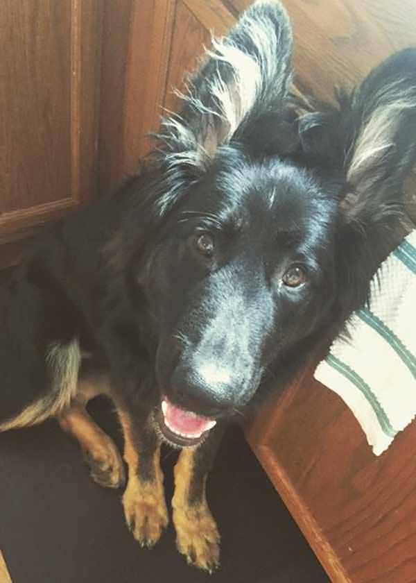 long-haired-german-shepherd-puppy-from-dc