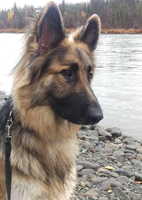 long-haired-tan-german-shepherd