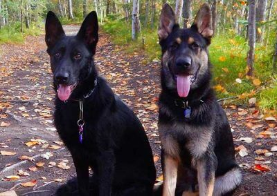 two-german-shepherds